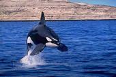 Il salto dell'orca