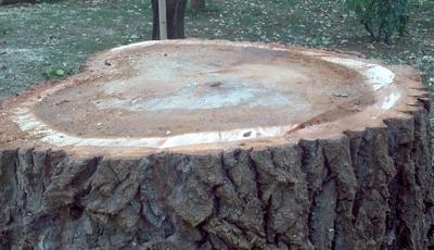 Il tronco del pioppo tagliato