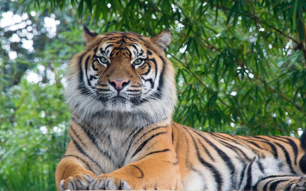 Bengala-Tiger.jpg