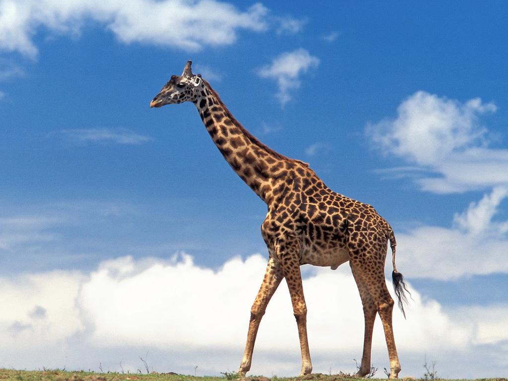 giraffa_1024.jpg
